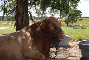 titleist-the-bull-5