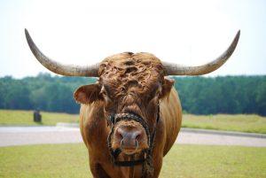 titliest-the-bull-2